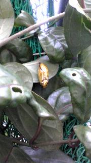 黄金のサナギ
